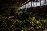 ギャラリー:オランダのチューリップ農家、コロナ後の復活 写真8点