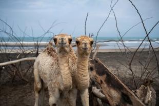 ギャラリー:ソマリランド襲う深刻な干ばつ、ラクダへの被害で苦しむ村人たち 写真9点