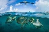 ギャラリー:守りたい! 世界の美しいウミガメ、写真10点