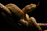 特集ギャラリー:命を奪うヘビの毒 写真と図解13点(2020年12月号)