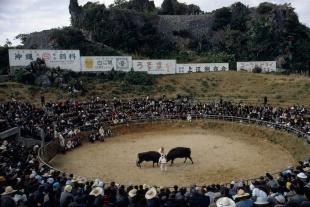 城跡で激突、沖縄の闘牛