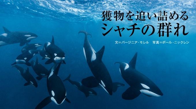 シャチは群れで暮らし、仲間と力を合わせて狩りをする。役割を分担し、絶妙なチームワークで獲物にありつくさまは、彼らの賢さを物語る。
