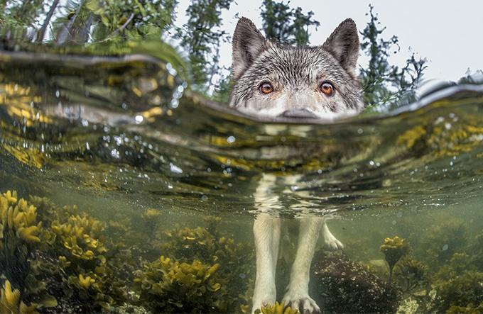 カナダ西海岸 海辺のオオカミ