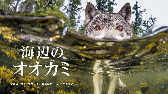 太平洋に面したカナダの西海岸に、海辺で食べ物をあさるオオカミがいる。島から島へと泳いで渡り、サケやアシカなど、あらゆる海の幸を食べる。
