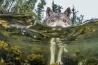 ニシンの卵を食べていたオオカミが、水中から顔を上げた。自分を狙うカメラを怪しく思ったようだ。