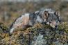 海辺のオオカミは内陸部に生息するオオカミより小型で、かつて太平洋沿岸の大部分に生息していた。現在はブリティッシュ・コロンビア州と米アラスカ州南東部にしかいない。