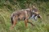 オオカミはサケ、とりわけ栄養価の高い脳を好んで食べる。生物学者のクリス・ダリモントは、サケはシカよりもたんぱく質と脂肪が豊富だという。