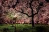 京都で見つけた 桜を愛でる日本の心