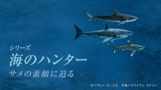 海のハンター イタチザメに会いたい