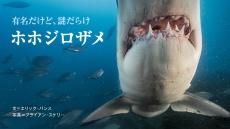 海のハンター ホホジロザメ 有名だけど、謎だらけ