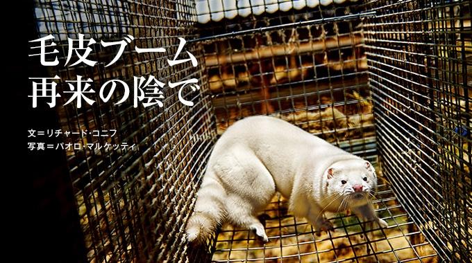 ファッション界に毛皮が再び返り咲き、人気の素材としてもてはやされている。一方、生産の現場では、毛皮用の飼育動物の扱いが見直されつつある。