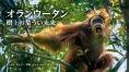 オランウータン 樹上の危うい未来