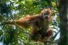 歯をむき出し、枝を揺らしてライバルを威嚇する雄のスマトラオランウータン。野生の生息数は約1万4000頭で、ボルネオ島のオランウータンとは別種とされる。