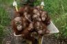保護施設で育てられている幼いオランウータンたち。ペットとして闇市場で高値で取引されるため、密猟者たちは母親を殺して、赤ちゃんを手に入れる。