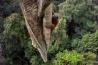 果実を採ろうと、地上30メートルの高みを目指すボルネオオランウータン。雄の体重が90キロ近くにもなるオランウータンは、樹上で暮らす最大の動物だ。