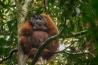 葉の茂る木の枝を頭に載せて雨をしのぐ雄のボルネオオランウータン。学習を通じて習得されるこの行動は、親から子へと伝えられる「文化」の一例だ。