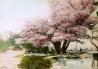 春らんまん 兼六園の旭桜