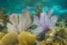 <b>バック島</b><br>カリブ海、米領バージン諸島のセント・クロイ島沖<br>バック・アイランド・リーフ国立モニュメントのエルクホーンサンゴは、白化と感染症の被害から復活した。うちわのような形をした紫色のサンゴの背後から、その姿をのぞかせている。