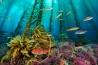 <b>コルテス・バンク</b><br>太平洋、米国サンディエゴから西に180キロ<br>ケルプやサンゴモの間を縫って、コブダイの仲間のカリフォルニアシープヘッドなどが泳ぐ。高さが1.5キロを超えるこの海山には、栄養分が豊富な水が湧き上がってくる。