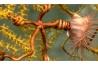 ウミトサカにからみついたクモヒトデ。ノースイースト・キャニオン・シーマウント海洋国立モニュメントで撮影。