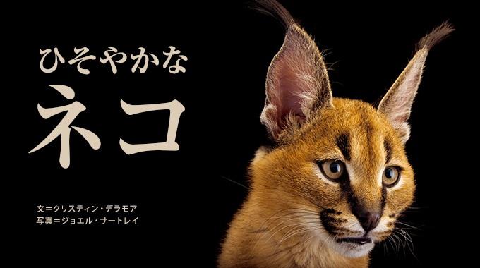 ライオンやトラといった大型のネコ科動物の陰に隠れて、あまり注目されない小型の野生ネコたち。その多くの種が、絶滅の危機にさらされている。