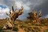 驚異の樹齢 <b>ブリスルコーンパイン</b><br>インヨー国有林( 米国カリフォルニア州)<br><br>木の年輪は過去の気候を物語る―そう考えたエドモンド・シュルマンは「最高齢の木」を求めて米国西部で調査を重ね、ねじくれた枯れ木のようなマツ科の木、ブリスルコーンパインに出合った。「メトセラ」と名づけたその木には、1957年の時点で4789本の年輪が刻まれていた。7年後、ネバダ州で別の研究者が切り倒したブリスルコーンパインの年輪は4862本。最高齢の木だったとわかったときには後の祭りだった。