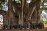 巨大な幹をもつ <b>メキシコラクウショウ</b><br>サンタ・マリア・デル・トゥーレ(メキシコ・オアハカ州)<br><br>「トゥーレの木」として知られるメキシコラクウショウの大木。前に並んだ、地元の小学6年生たちが小さく見える。巨大な幹は周囲が36メートル、直径11メートル以上もあり、大きく広がった樹冠はテニスコート2面分ほどもありそうだ。1990年代には、自動車の排出ガスと地下水の減少で弱った樹勢を回復させるため、メキシコ政府は幹線道路のルートを変更し、井戸の掘削費用を助成した。