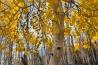 最古の根をもつ <b>カロリナポプラ</b><br>フィッシュレーク国有林( 米国ユタ州)<br><br>43ヘクタールに及ぶカロリナポプラの林は、「パンド・クローン」と呼ばれている。その数およそ4万7000本、総重量6000トン近いポプラの林は、実は単一の生命体だ。おそらく何万年も前、1粒の種子から芽生えたポプラが成長して根を張り、そこから次々に新たな幹が育っていった。ポプラの木々は同じ遺伝子をもち、樹齢は最長でも150年程度だが、地中に広がった根は、地球上で最も長く生きてきた生物かもしれない。