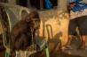 森からクメルソットの町に連れてこられ、鎖につながれて生きる若いクロザル。絶滅の危機にあるクロザルをペットとして飼うのは違法で、動物愛護団体がペットとなったサルの救出に取り組んでいる。