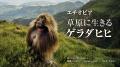 エチオピアの草原に生きるゲラダヒヒ