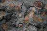 ノドサウルスの謎めいた特徴の一つが、小石のような塊だ。見つかった位置から考えると、恐竜が最後に食べた物の痕跡かもしれない。