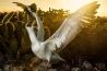 ナスカカツオドリが狩りを終えて、ウォルフ島の巣に戻ってきた。研究者たちはこれまで、ガラパゴス諸島の別の場所に生息する鳥を調査し、餌となる魚の数や種類の変化が鳥の繁殖や個体数にどのような影響を与えるかを解明しようとしてきた。