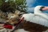 ウォルフ島のフィンチは、ほかの島々の鳥よりも餌の確保に苦労している。ただでさえ乏しい種子や昆虫が完全に手に入らなくなると、ハシボソガラパゴスフィンチはナスカカツオドリの羽根の根元をつついて、その血を飲む。