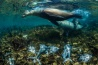 イサベラ島の東岸で、固有種のガラパゴスアシカがキハダマグロを獲る。アシカたちは入り江にマグロを追い込み、岩場に乗り上げさせたり、頭にかみついたりして仕留める。気候変動の進行で、ガラパゴスアシカは減ると予測されている。