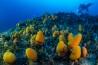 水深60メートル以上の海底に密集したオレンジ色の生き物は、ホヤの仲間。コンボウボヤ属の一種で、海水を吸って食べ物をこしとる。「単純な外見ですが、かなり進化した生物です」とシュバルドネは話す。無脊椎動物だが、幼生期には脊髄がある。<br>学名 <i>SYNOICUM ADAREANUM</i>