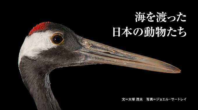 国内ではあまり注目されない日本産の動物も、海外ではエキゾチック。ジョエル・サートレイの写真で彼らの魅力を再発見。
