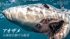 大洋の稲妻 アオザメ