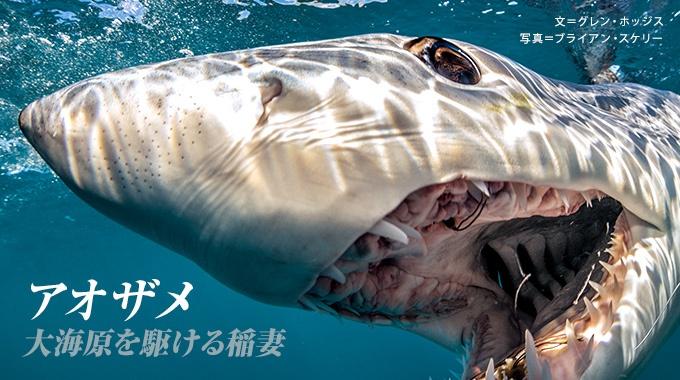 サメのなかで最速といわれるアオザメ。人間の飽くなき欲望から逃げきれるだろうか?