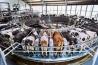 ワーヘニンゲン大学の牛舎で稼働する回転式搾乳システム。1時間に最高150頭の搾乳をたった1人で完了できる。この大学では人口密度の高いオランダで酪農家が直面する課題に取り組んでいる。