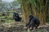 ボルカン国立公園に近いビサテ村の住民は、建築資材として植えた竹をゴリラが食べていても気にしなくなった。公園の外で眠るゴリラもいて、人間や家畜に由来する病気に感染するリスクが増している。