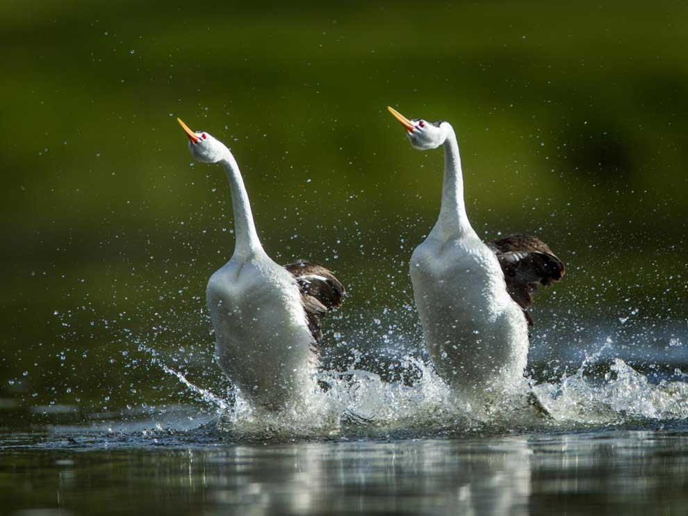 水の上の走り方、水鳥カイツブリの秘技が明らかに