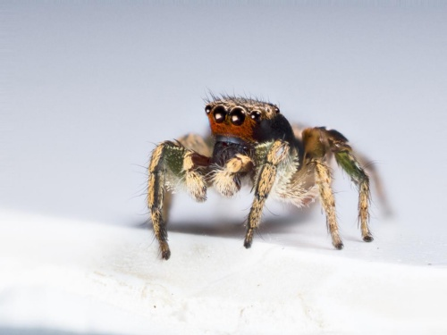 赤い 小さい クモ