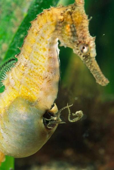 「Hippocampus オス メス」の画像検索結果