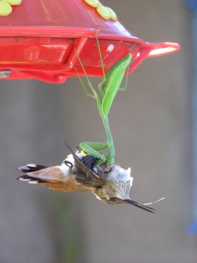 カマキリ鳥捕食