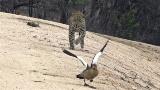 【動画】迫るヒョウ、怪我したフリで子を守る鳥