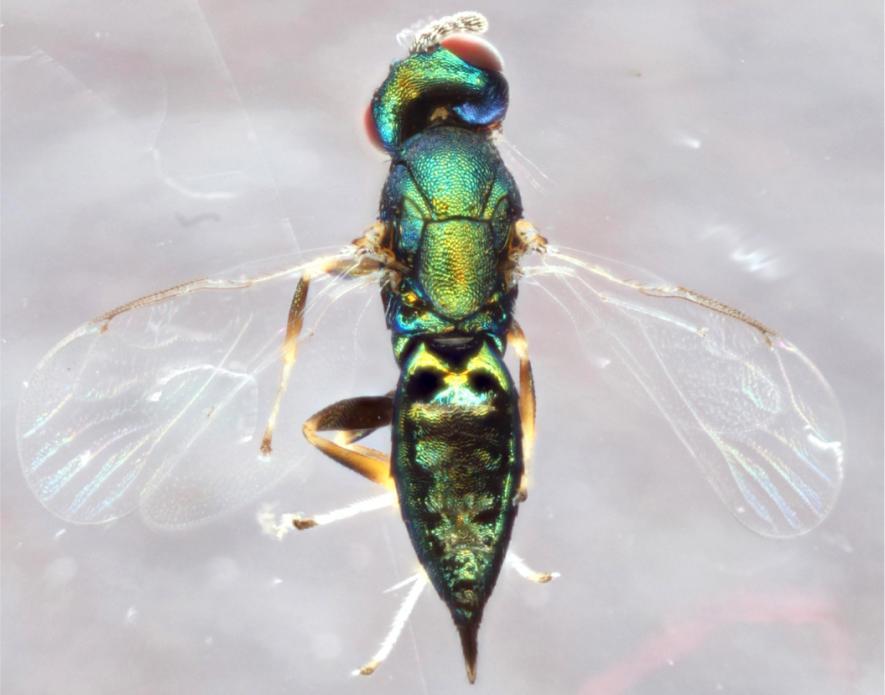 新種の寄生バチを発見、宿主を操り頭を食い破る