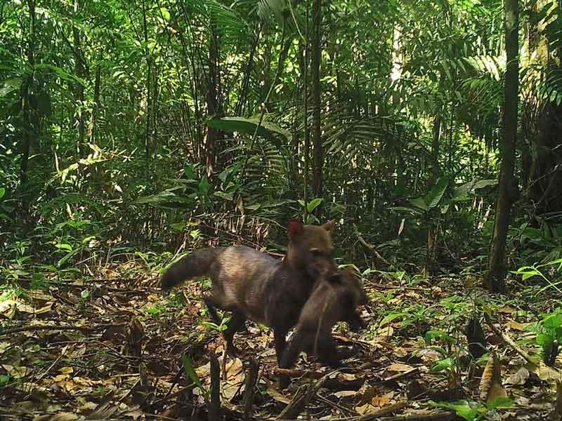 幻のジャングル犬の親子を撮影、おそらく初