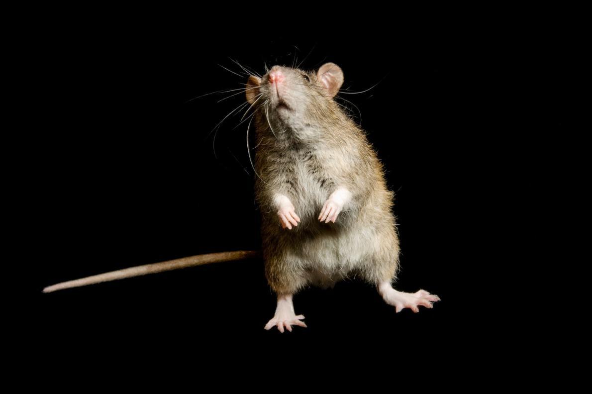 人 ネズミ 食べる 中国