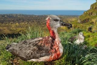 海鳥の危機、過去60年で70%も減っていた