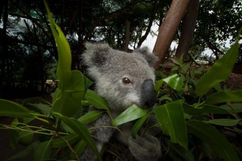 「コアラ」の画像検索結果